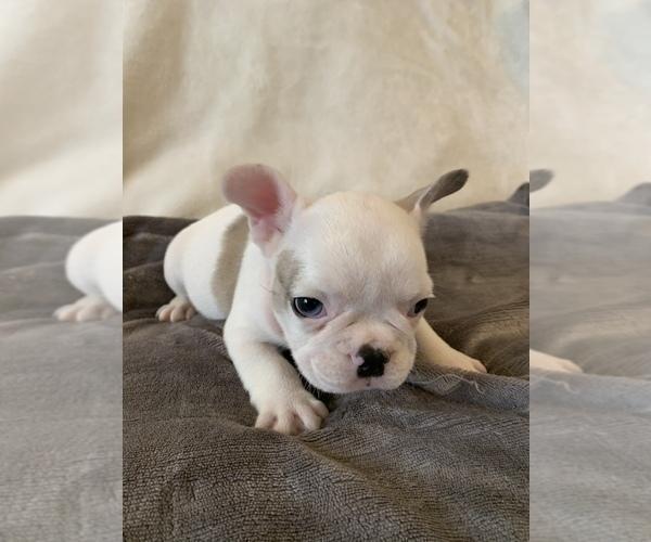 Medium Photo #5 French Bulldog Puppy For Sale in JOHNS ISLAND, SC, USA