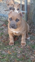 Puppyfindercom American Bully Puppies For Sale Near Me In Florida