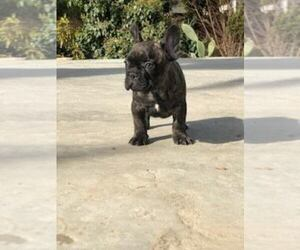 French Bulldog Puppy for sale in WHITTIER, CA, USA