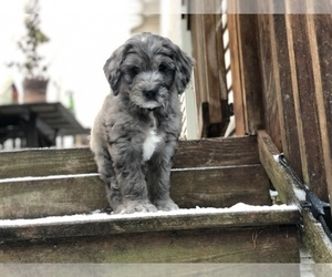 Aussiedoodle-Poodle (Standard) Mix Puppy for Sale in COMMERCE, Michigan USA