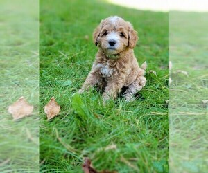 Miniature Bernedoodle Puppy for sale in NEW AUBURN, WI, USA