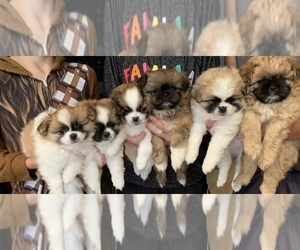 Pom-Shi-Poo-Shi Mix Puppy for Sale in LIVERMORE, California USA