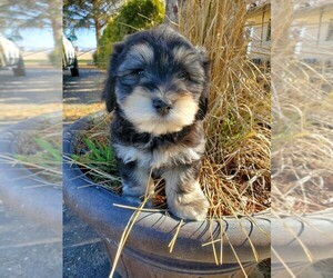 Havanese Puppy for Sale in MADRAS, Oregon USA