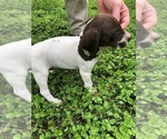 Puppy 7 German Shorthaired Pointer