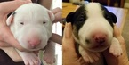 Bull Terrier Puppy For Sale in GRAND RAPIDS, MI, USA