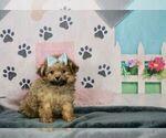 Puppy 9 Pom-A-Poo-Poodle (Toy) Mix