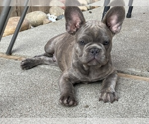 French Bulldog Puppy for sale in ANTIOCH, CA, USA