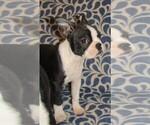 Puppy 3 Boston Terrier