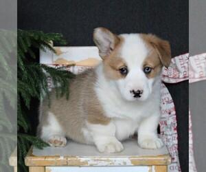 Pembroke Welsh Corgi Puppy for sale in EPHRATA, PA, USA