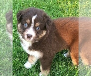 Australian Shepherd Puppy for sale in RANDOLPH, NY, USA