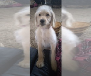 Labradoodle Puppy for sale in JEFFERSONTOWN, KY, USA