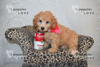 Poodle (Toy) Puppy For Sale in SANGER, TX,