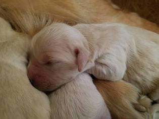 Golden Retriever Puppy For Sale in TRIVOLI, IL, USA