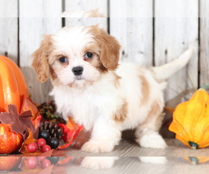 Cava-Tzu Puppy for sale in MOUNT VERNON, OH, USA