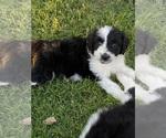 Puppy 7 Aussie-Poo