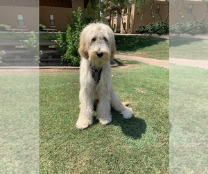 Goldendoodle Puppy for sale in PHOENIX, AZ, USA