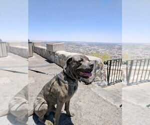 Cane Corso Dog for Adoption in KILLEEN, Texas USA