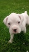 Boxer Puppy For Sale in SIBLEY, LA