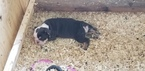 English Bulldog Puppy For Sale in WEST, TX, USA