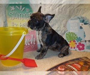 French Bulldog Dog for Adoption in PAWTUCKET, Rhode Island USA