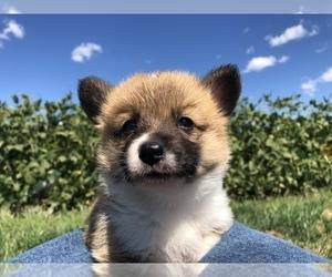 Pembroke Welsh Corgi Dog for Adoption in ARTHUR, Illinois USA