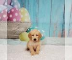 Puppy 12 Labradoodle
