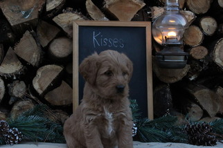 Labradoodle Puppy For Sale in MILLMONT, PA, USA