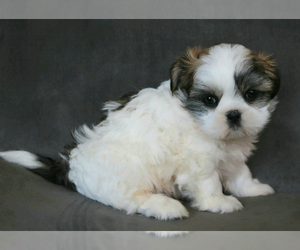 Shih Tzu Puppy for sale in CASPER, WY, USA