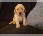 Golden Retriever Puppy For Sale in CLAREMORE, OK, USA
