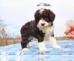 Small Photo #3 Aussiedoodle Puppy For Sale in UNION CITY, TN, USA