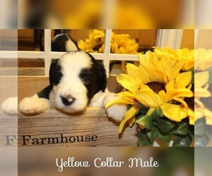 Sheepadoodle Puppy for Sale in MOULTRIE, Georgia USA