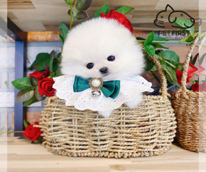Pomeranian Puppy for sale in DIX HILLS, NY, USA