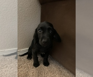 Dachshund Puppy for sale in LITTLETON, CO, USA