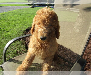 Poodle (Standard) Puppy for sale in ANN ARBOR, MI, USA