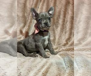 French Bulldog Puppy for Sale in MODESTO, California USA