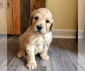 Goldendoodle Puppy for sale in MONTGOMERY, AL, USA