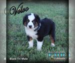 Volvo Mini Blue Eyed Black Tri Male Aussie