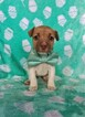 Jack Russell Terrier Puppy For Sale in LANCASTER, PA, USA
