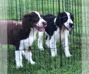 English Springer Spaniel Puppy for Sale in NORTH PLATTE, Nebraska USA