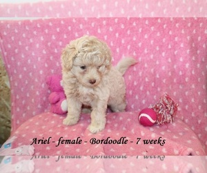 Bordoodle Puppy for sale in CLARKRANGE, TN, USA