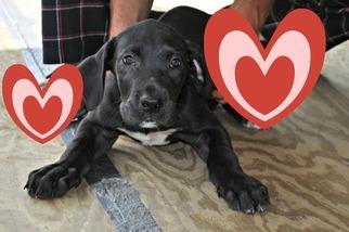 Great Dane Puppy For Sale in NORFOLK, VA, USA