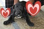 CKC Registered Great Dane Puppies