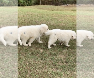 Great Pyrenees Puppy for sale in ABBEVILLE, SC, USA