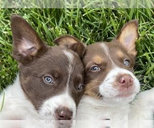 Australian Shepherd Puppy for sale in CHESTERFIELD, MI, USA
