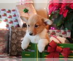 Small Photo #1 Pembroke Welsh Corgi Puppy For Sale in SPRINGFIELD, MO, USA