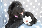 Newfoundland Puppy For Sale in LANCASTER, PA, USA