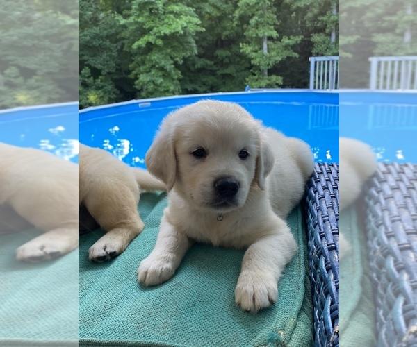 Medium Photo #9 Golden Retriever Puppy For Sale in PIEDMONT, SC, USA