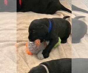 Labrador Retriever Puppy for Sale in WHITE, Georgia USA