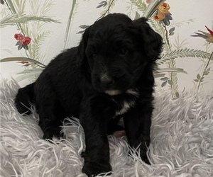 Bernedoodle Puppy for Sale in HILLSBORO, Ohio USA