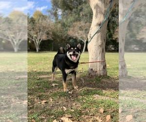 Shiba Inu Puppy for sale in PASADENA, CA, USA